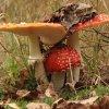 Rodzinka muchomorów