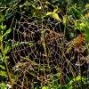 Dzieło pająka krzyżaka