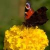 Jesienny motyl...