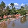 Brodzące flamingi
